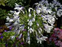 Agapanthus 'Enigma' POS photo
