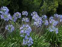 Agapanthus praecox subsp. orientalis 'Blue Form' POS photo