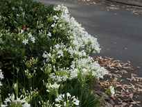 Agapanthus praecox subsp. orientalis 'Getty White' POS photo