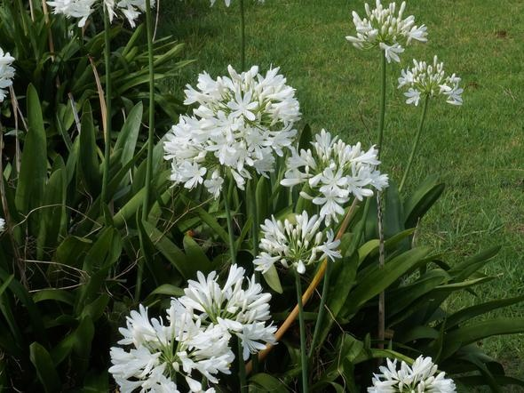 Agapanthus praecox subsp. orientalis 'White Seeded'