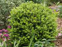 Buxus microphylla var. japonica POS photo