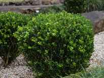 Buxus sempervirens POS photo