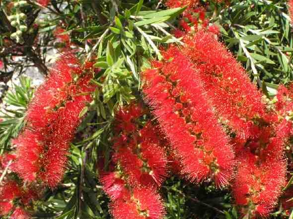 Callistemon 'Kings Park Special'