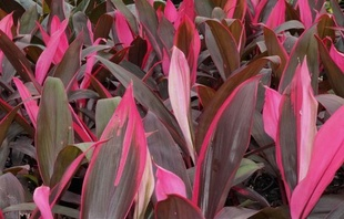 Cordyline fruticosa 'Ruby'