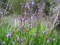 Dianella revoluta POS photo