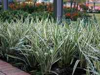 Dianella 'Silver Streak' POS photo