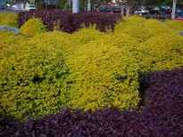 Duranta repens 'Sheena's Gold' POS photo