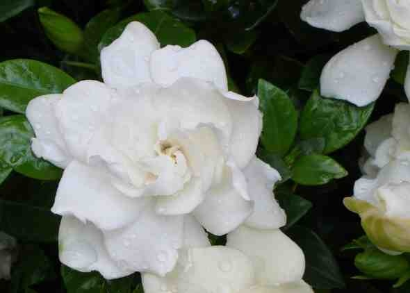 Gardenia 'Four Seasons'