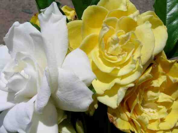 Gardenia augusta 'Golden Magic'