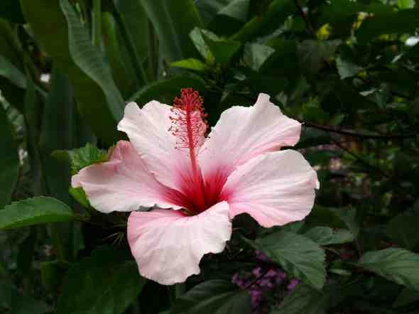 Buy Hibiscus Rosa Sinensis Pink Gem Sydney Melbourne Brisbane