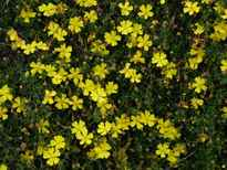 Hibbertia vestita 'Golden Sunburst' POS photo