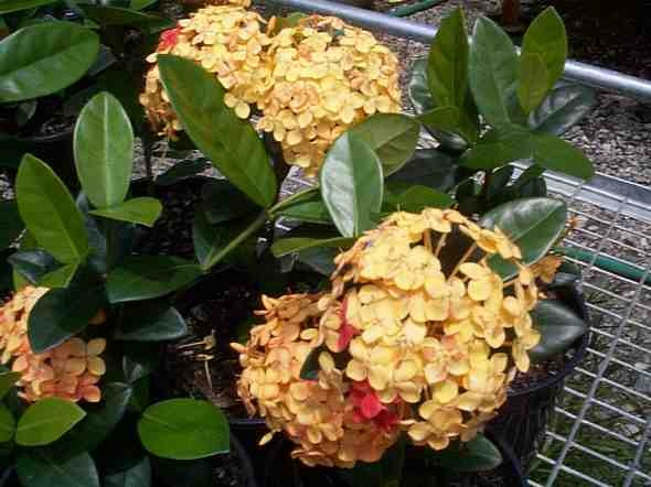 Ixora 'Gold Fire'