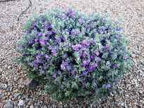 Leucophyllum frutescens 'Lavender Lights' POS photo