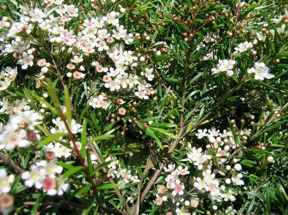Leptospermum petersonii 'Little Lemon Scents'