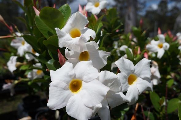 Mandevilla sanderi 'My Fair Lady'