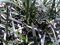 Ophiopogon planiscapus 'Nigrescens' POS photo