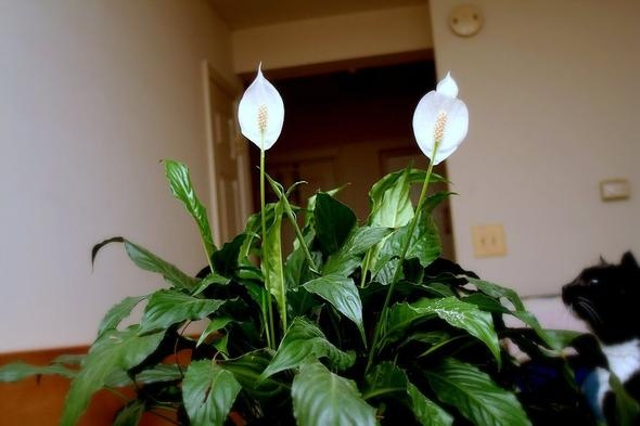 Peace Lily 'Carlos'