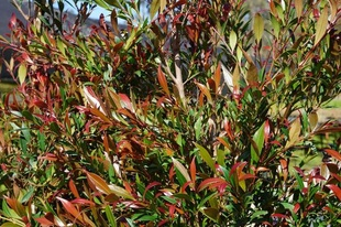 Syzygium smithii var. minor 'Forest Flame'