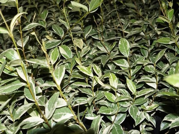 Trachelospermum jasminoides 'Valley Lights'