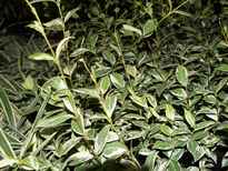 Trachelospermum jasminoides 'Valley Lights' POS photo