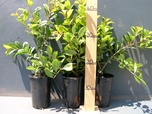 Buy Hedging plants
