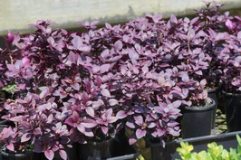 Alternanthera dentata 'LRU30' PBR Little Ruby™: $5.60