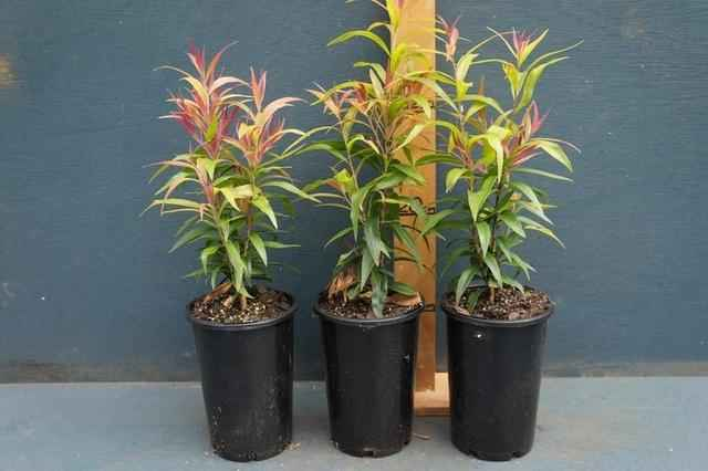 Callistemon salignus 'Great Balls Of Fire': $5.80