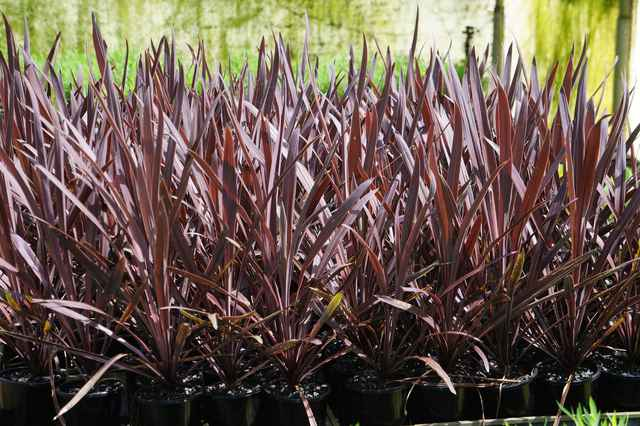 Cordyline australis 'Red Sensation': $5.80