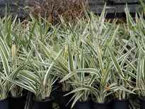 Dianella 'Silver Streak' stock photo