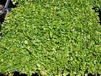 Dichondra repens stock photo