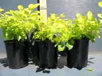 Duranta repens 'Sheena's Gold' stock photo