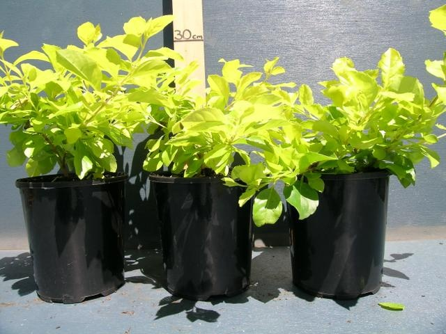Duranta repens 'Sheena's Gold': $4.80