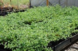 Buy Groundcover plants