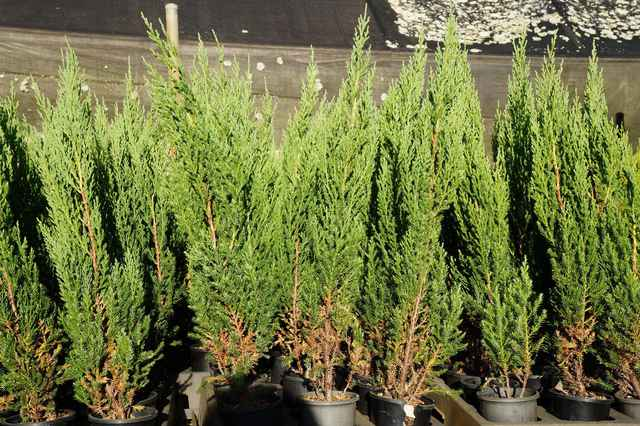 Juniperus chinensis 'Blue Point': $6.80