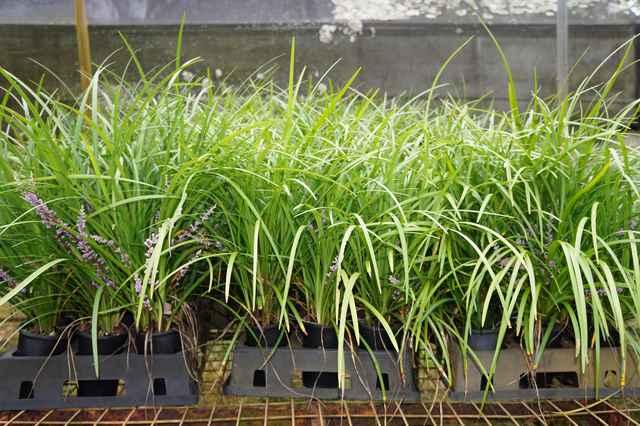 Buy Liriope Evergreen Giant Sydney Melbourne Brisbane