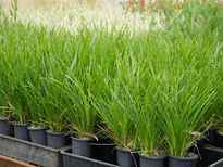 Lomandra longifolia 'Lime Tuff' stock photo