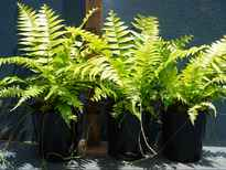 Nephrolepis biserrata 'Macho' stock photo