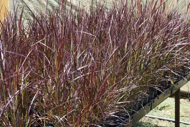 buy pennisetum setaceum  u0026 39 red riding hood u0026 39   dwarf purple fountain grass   sydney