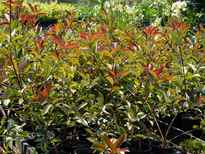 Photinia glabra 'Rubens' stock photo