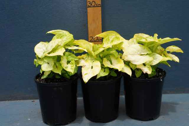 Syngonium 'Golden Allusion': $5.80