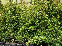 Syzygium australe 'Resilience' stock photo