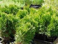Thuja occidentalis 'Smaragd' stock photo