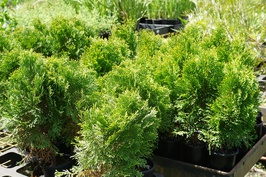 Thuja occidentalis 'Smaragd': $6.80
