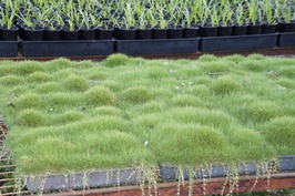 Korean Velvet Grass: $28.00