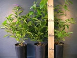 Buy Screening plants
